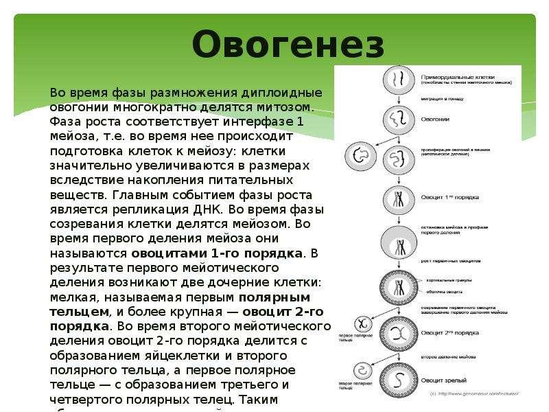 Овогенез Во время фазы размножения диплоидные овогонии многократно делятся митозом. Фаза роста соотв