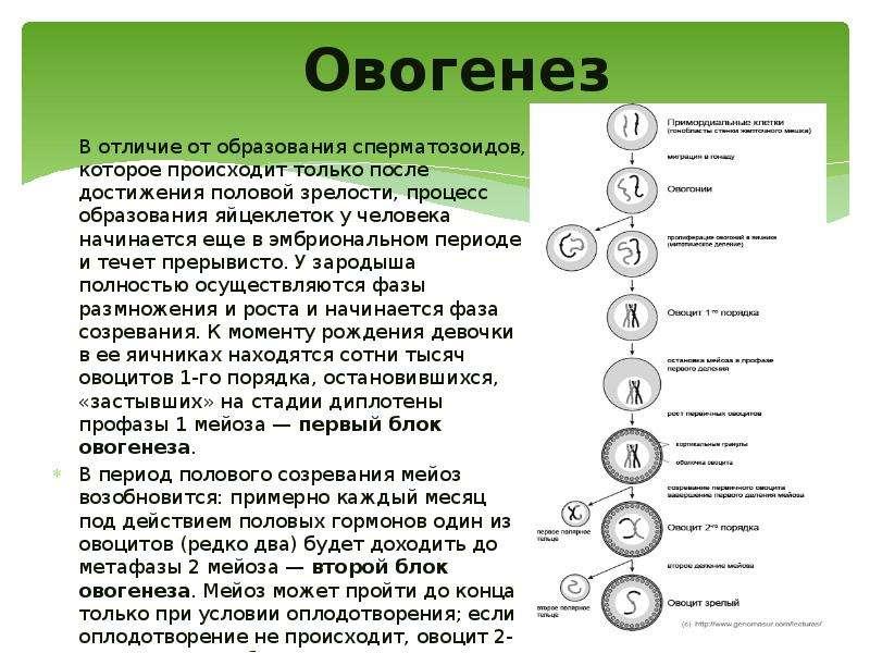Овогенез В отличие от образования сперматозоидов, которое происходит только после достижения половой