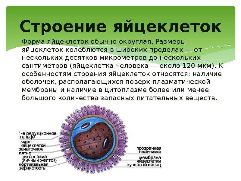 Строение яйцеклеток Форма яйцеклеток обычно округлая. Размеры яйцеклеток колеблются в широких предел