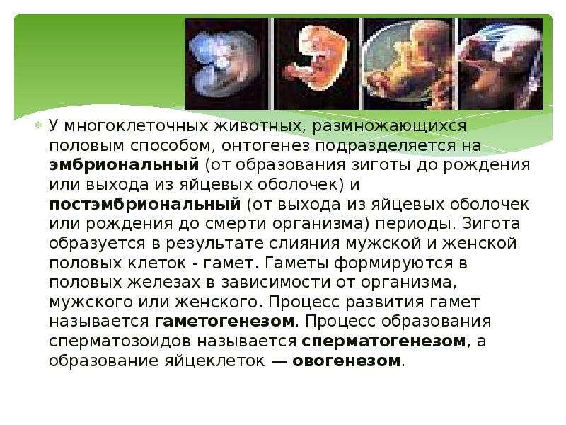 У многоклеточных животных, размножающихся половым способом, онтогенез подразделяется на эмбриональны