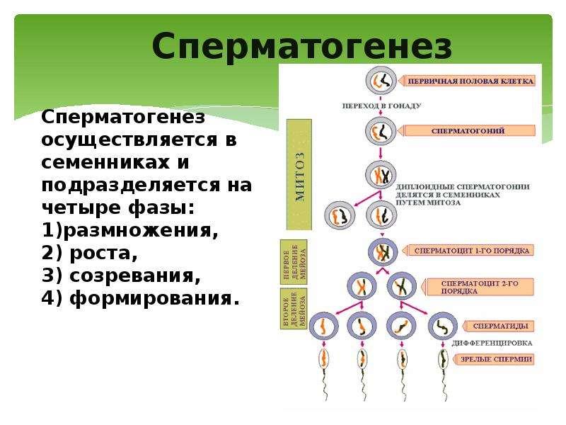 Cперматогенез