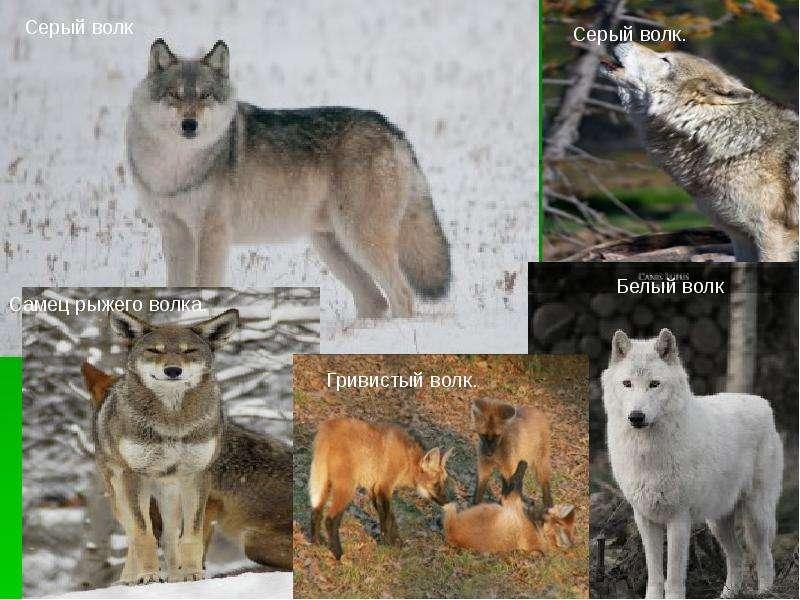 Волк где находится