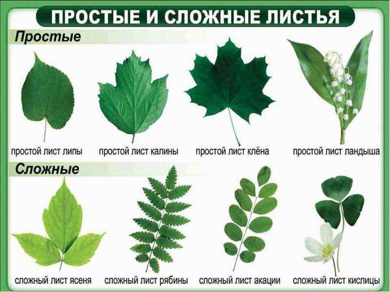 Биология 6 класс листья простые и сложные