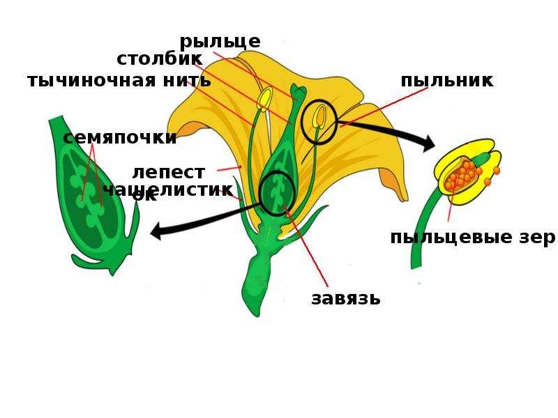 На тему Гаметогенез у растений, слайд 5