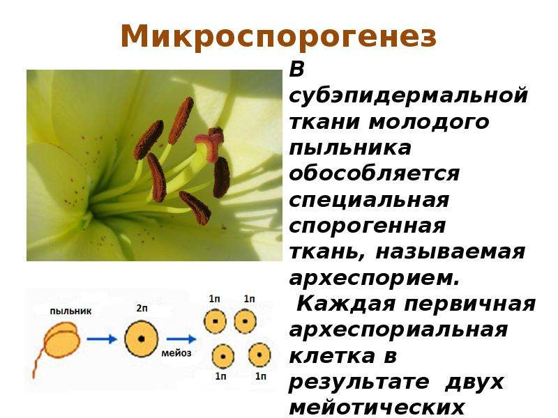 Микроспорогенез