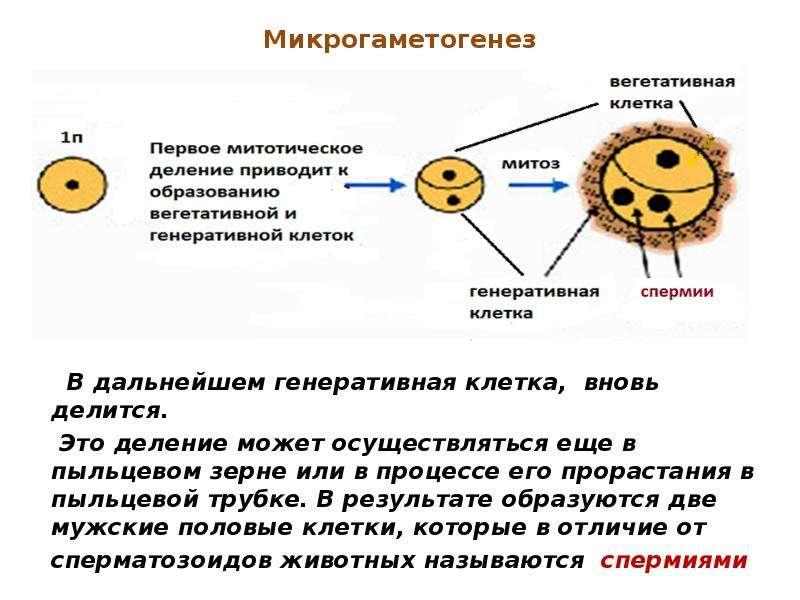 Микрогаметогенез В дальнейшем генеративная клетка, вновь делится. Это деление может осуществляться е