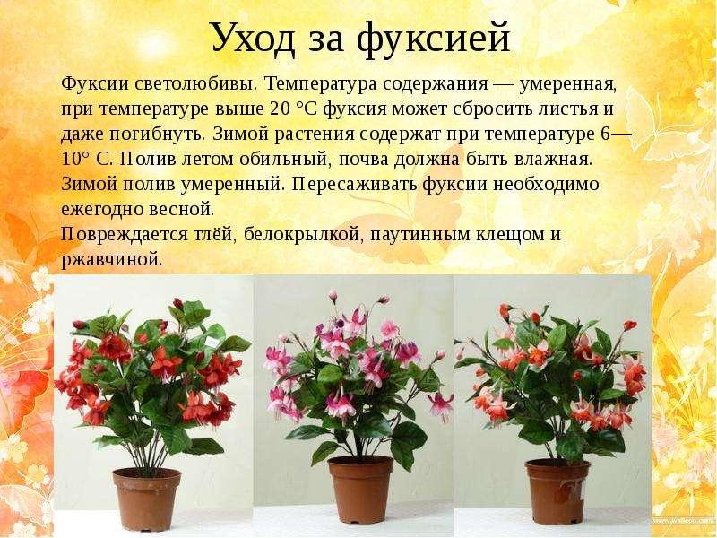 Уход за цветком фуксией в домашних условиях