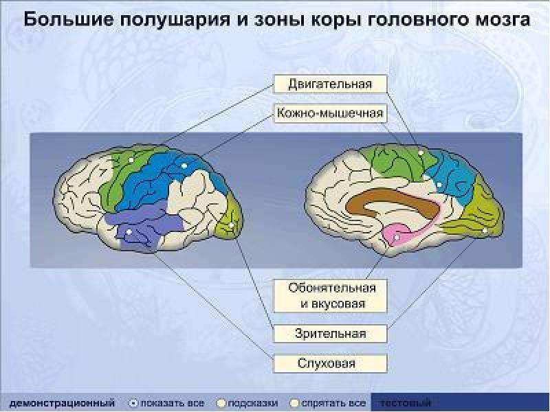 Сенсорные системы, слайд 14