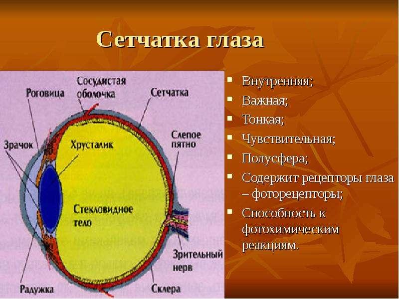 Сетчатка глаза Внутренняя; Важная; Тонкая; Чувствительная; Полусфера; Содержит рецепторы глаза – фот