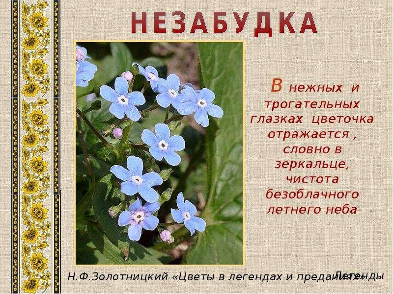 Незабудка цветок стих