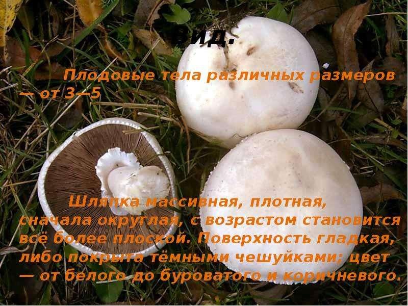 луговые шампиньоны фото и описание