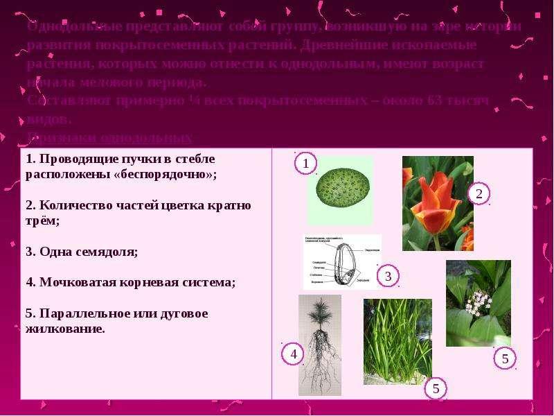 Однодольные представляют собой группу, возникшую на заре истории развития покрытосеменных растений.