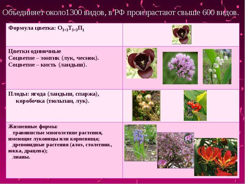 Класс Однодольные, характерные признаки растений семейства лилейных, слайд 6