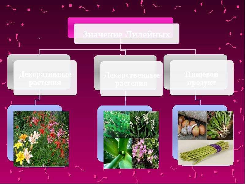 Класс Однодольные, характерные признаки растений семейства лилейных, слайд 7