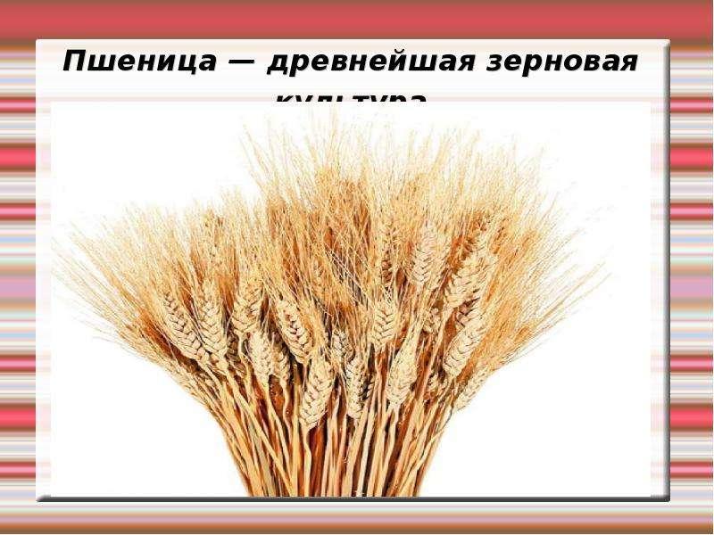 Пшеница — древнейшая зерновая культура