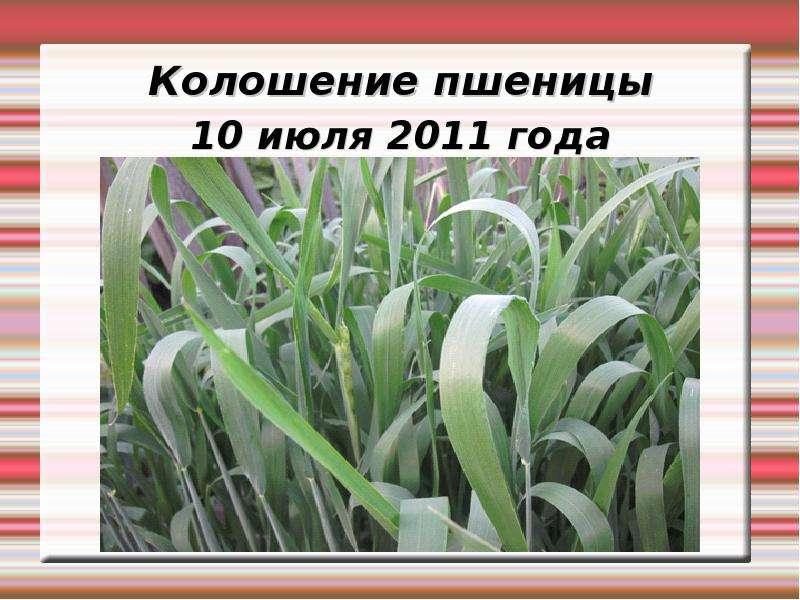 Колошение пшеницы 10 июля 2011 года