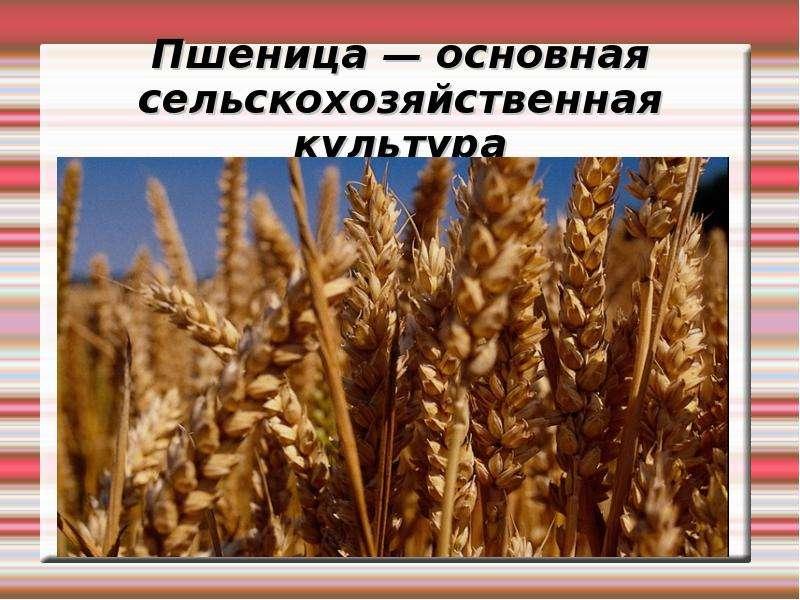 Пшеница — основная сельскохозяйственная культура