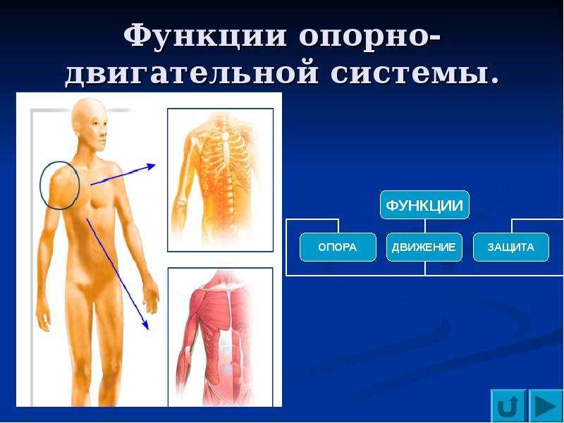 sistema-oporno-dvigatelnogo-apparata-cheloveka