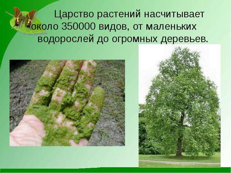 Царство растений насчитывает около 350000 видов, от маленьких водорослей до огромных деревьев.