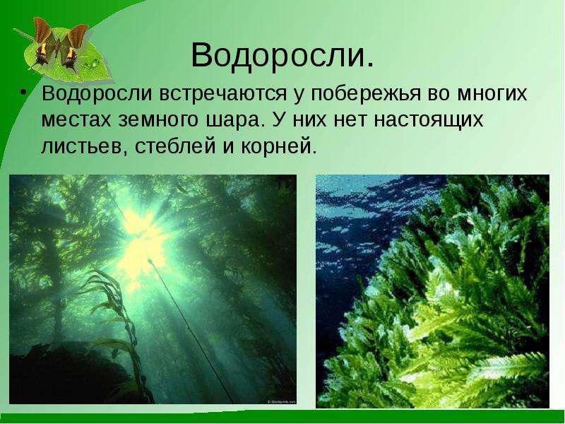 Водоросли. Водоросли встречаются у побережья во многих местах земного шара. У них нет настоящих лист
