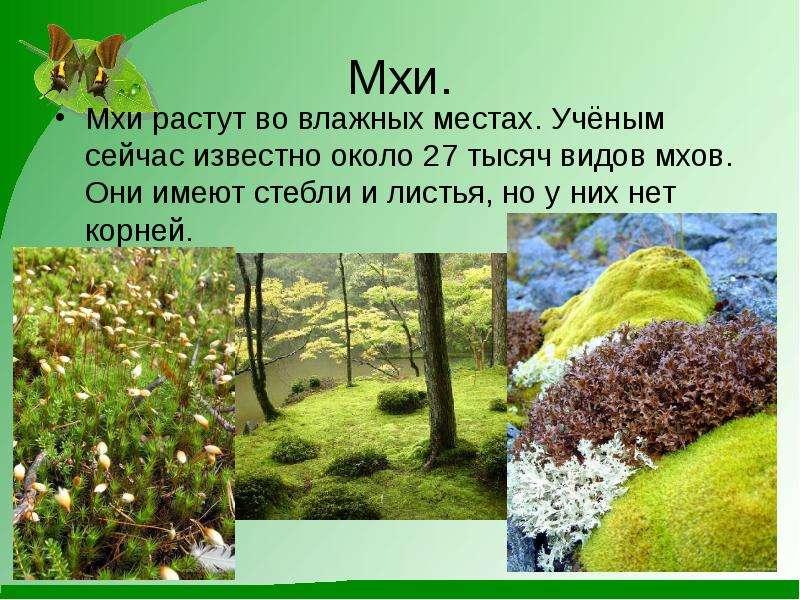 Мхи. Мхи растут во влажных местах. Учёным сейчас известно около 27 тысяч видов мхов. Они имеют стебл