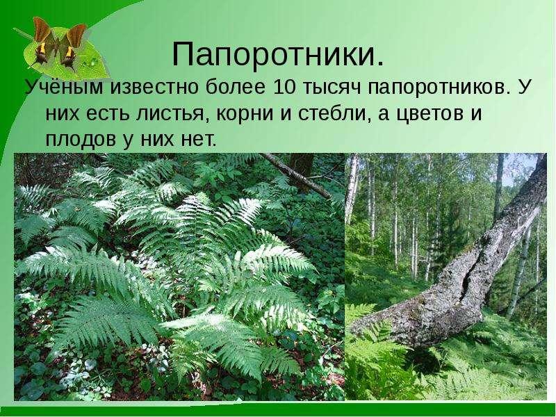 Папоротники. Учёным известно более 10 тысяч папоротников. У них есть листья, корни и стебли, а цвето