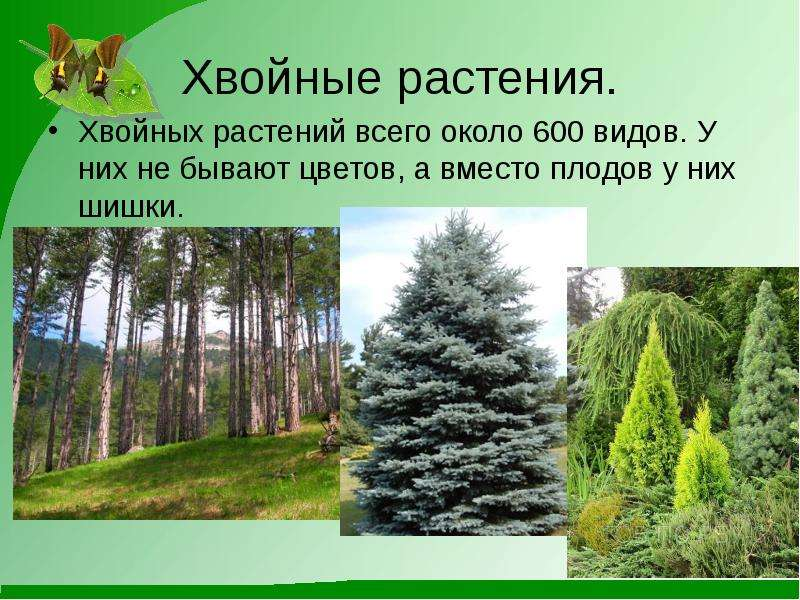 Хвойные растения. Хвойных растений всего около 600 видов. У них не бывают цветов, а вместо плодов у