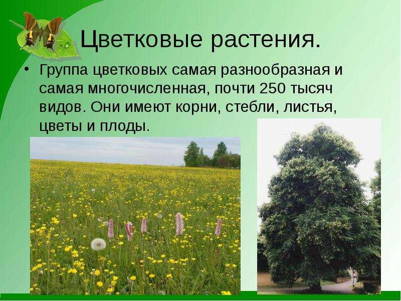 Цветковые растения. Группа цветковых самая разнообразная и самая многочисленная, почти 250 тысяч вид