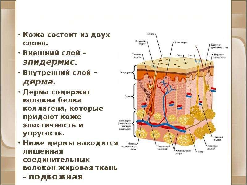 Строение кожи Кожа состоит из двух слоев. Внешний слой – эпидермис. Внутренний слой – дерма. Дерма с