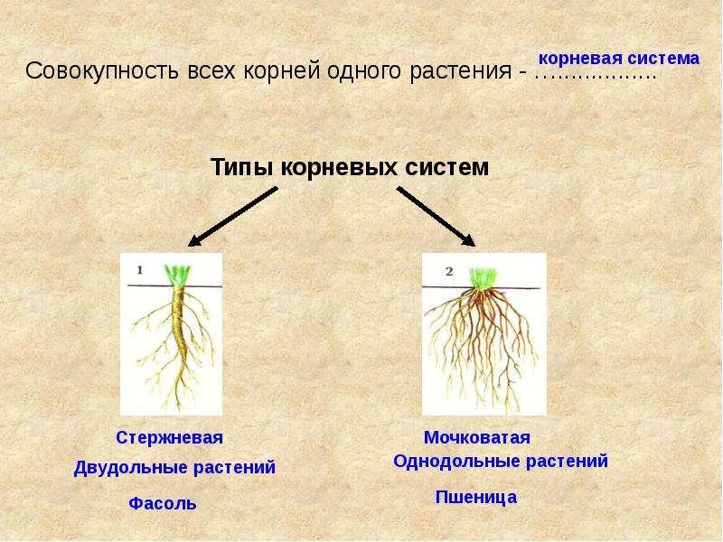 Корневые системы плодовых деревьев