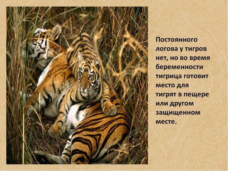 Где находится тигры тигре