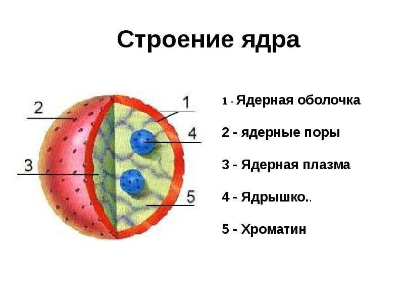 Презентация по биологии на тему ядро