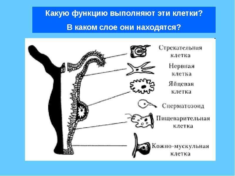 kakie-funktsii-vipolnyaet-spermatozoid