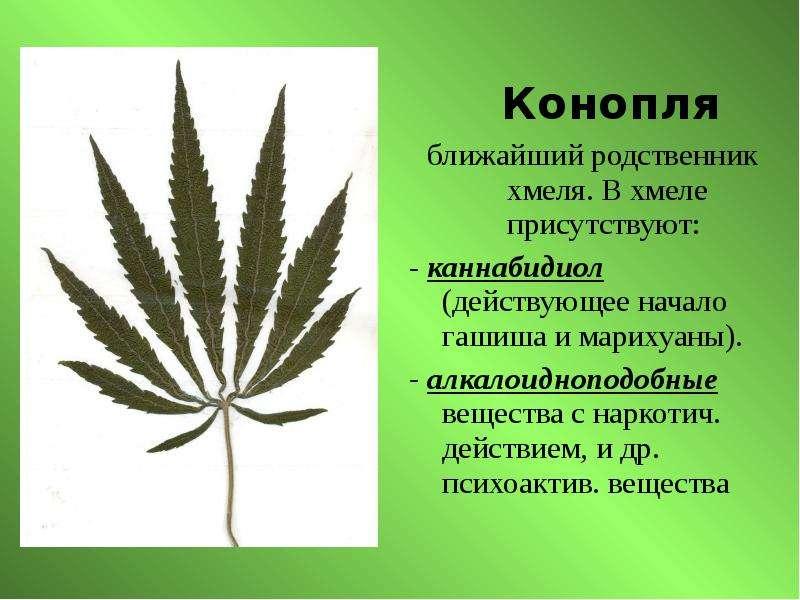 Двудольное марихуана конопля надежда