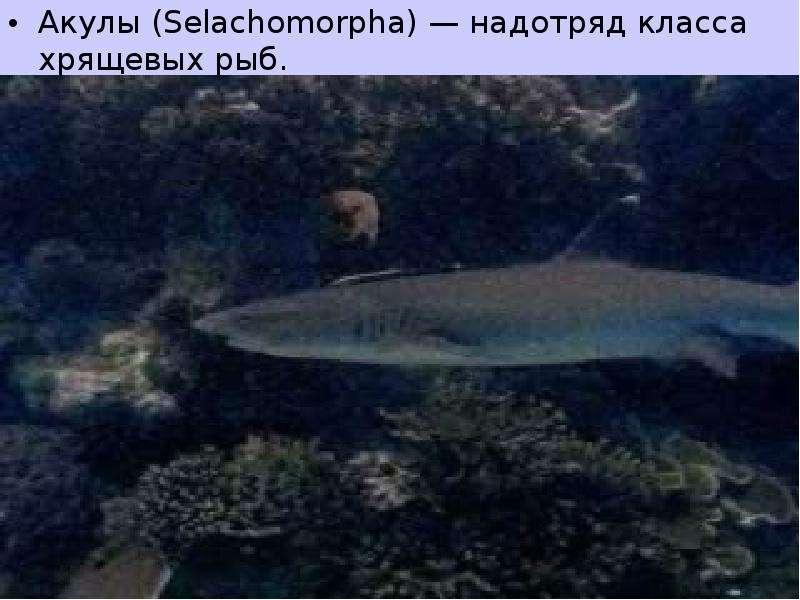 Акулы (Selachomorpha) — надотряд класса хрящевых рыб. Акулы (Selachomorpha) — надотряд класса хрящев