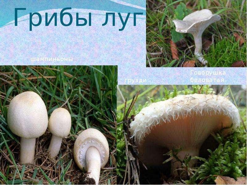 Белые грибы на лугу
