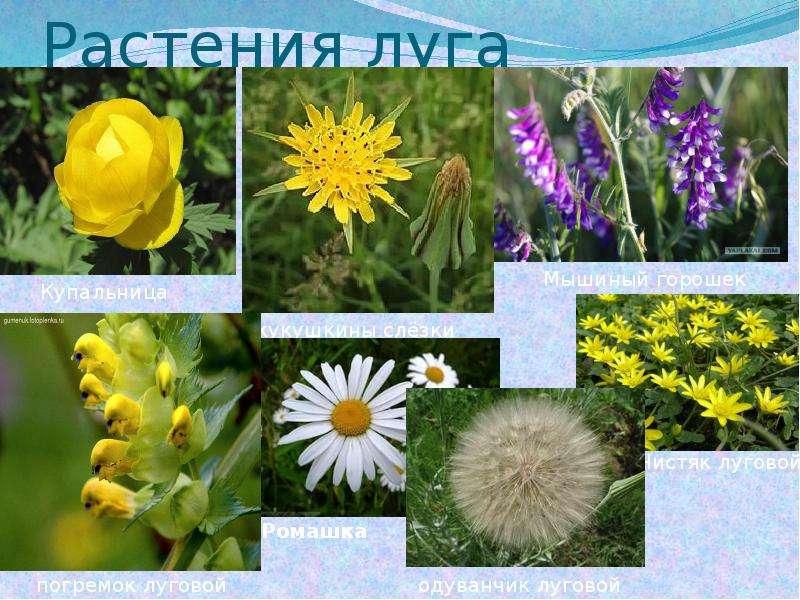 вот, растения луга с картинками и названиями ускорения эффекта