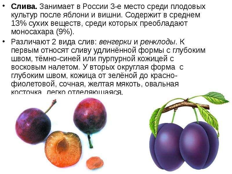 Слива. Занимает в России 3-е место среди плодовых культур после яблони и вишни. Содержит в среднем 1