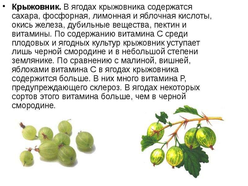 Крыжовник. В ягодах крыжовника содержатся сахара, фосфорная, лимонная и яблочная кислоты, окись желе
