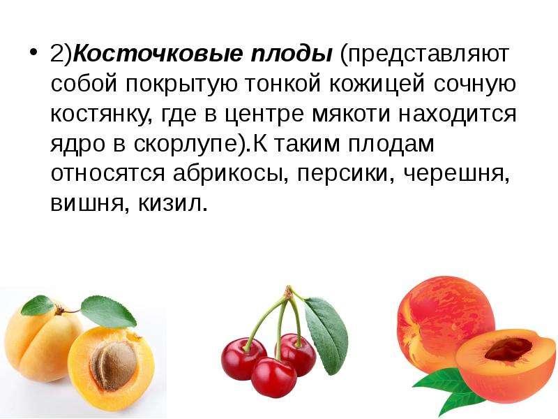 2)Косточковые плоды (представляют собой покрытую тонкой кожицей сочную костянку, где в центре мякоти
