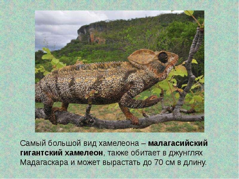 особенность хамелеон животное как он маскируется где обитает для занятий зимними