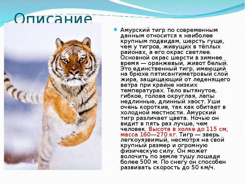 этого амурский тигр картинка с описанием художественная школа для