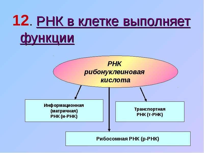 В любой клетке функция рнк связана с