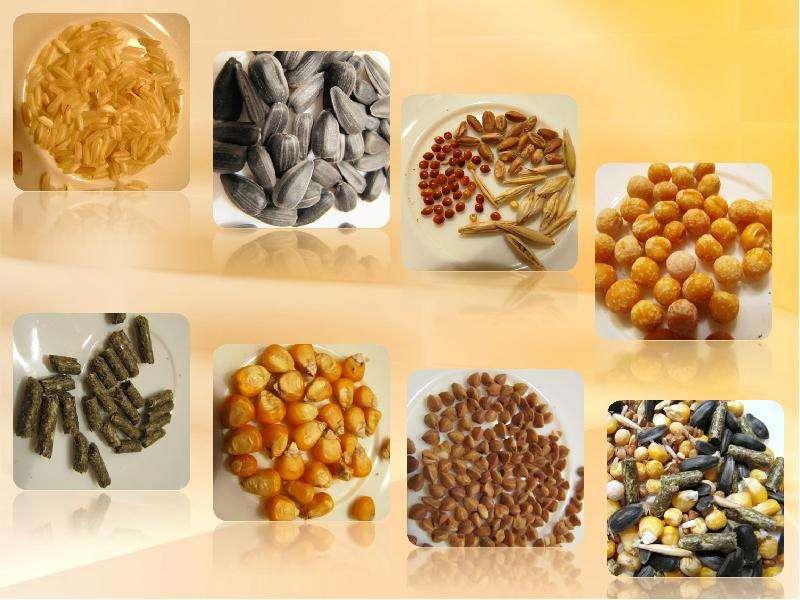 Изучение индивидуальных потребностей хомяка джунгарского в зерновых и бобовых культурах, слайд 5