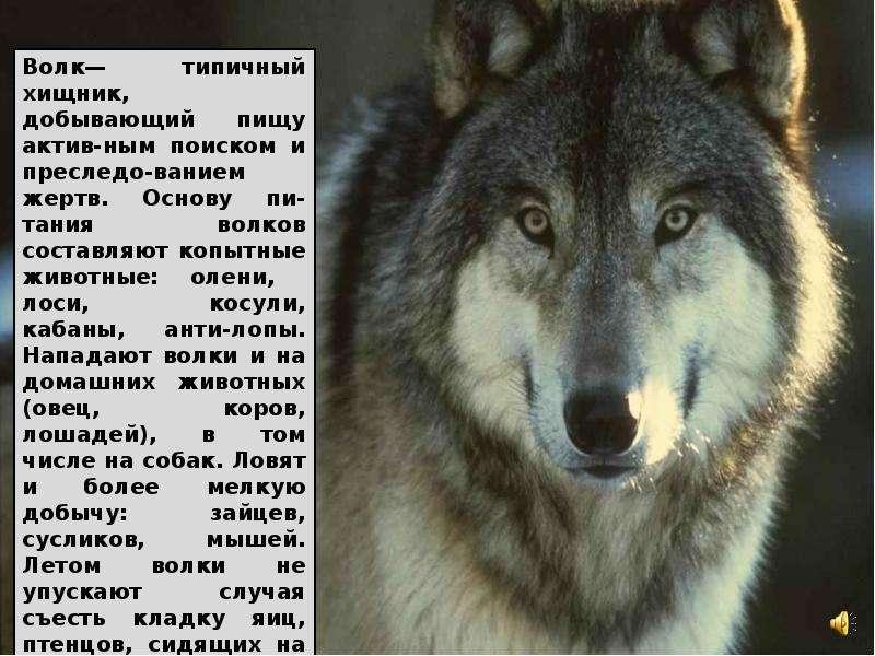 масса людей реферат про волков с картинками давно повсеместно применяются
