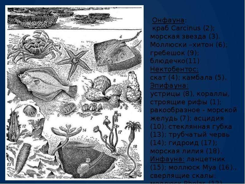 Экологические группы гидробионтов., слайд 13