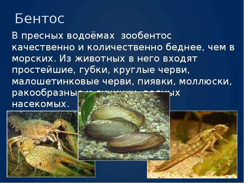 Бентос В пресных водоёмах зообентос качественно и количественно беднее, чем в морских. Из животных в
