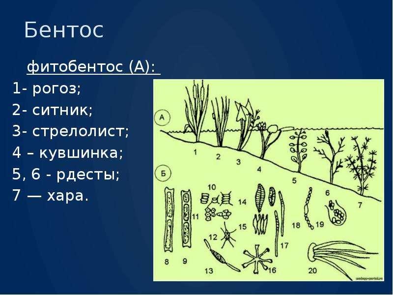 Бентос фитобентос (А): 1- рогоз; 2- ситник; 3- стрелолист; 4 – кувшинка; 5, 6 - рдесты; 7 — хара.