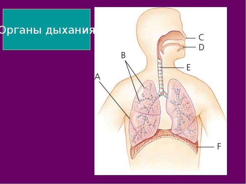 На тему Дыхательная система Зачем нашему организму кислород?, слайд 3