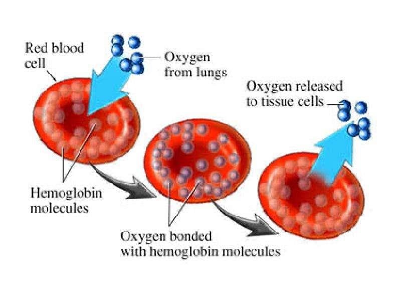 На тему Дыхательная система Зачем нашему организму кислород?, слайд 33